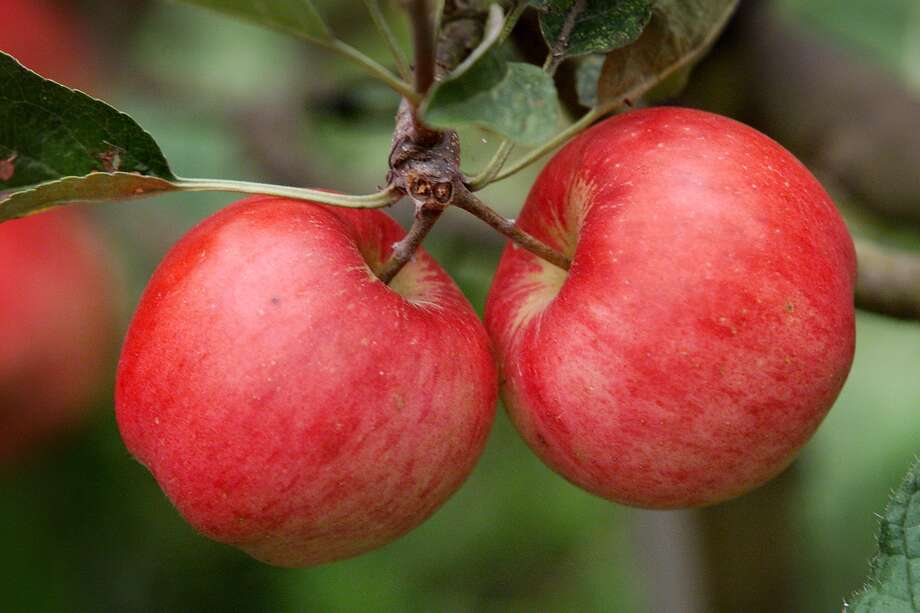 Apples: No need to eat mushy apples here. Washington produces 10 to 12 billion apples year, more than half of all apples grown in the United States. Photo: DAN DELONG / Seattle Post-Intelligencer