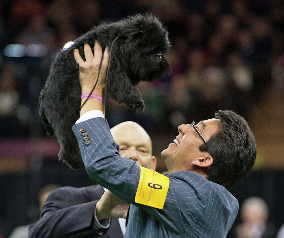 Ernesto Lara celebrates with Banana Joe, an affenpinscher who won Best in Show, during the 137th Westminster Kennel Club dog show, Tuesday, Feb. 12, 2013, at Madison Square Garden in New York. Photo: Frank Franklin II