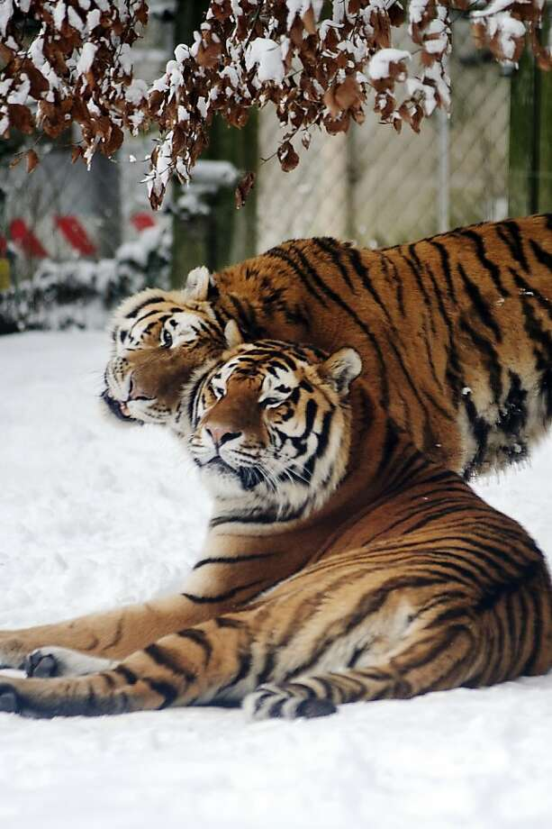 Rubbed the right way:Two Siberian tigers act as if they know it's almost Valentine's Day at the Mulhouse Zoo in Germany. Photo: Sebastien Bozon, AFP/Getty Images