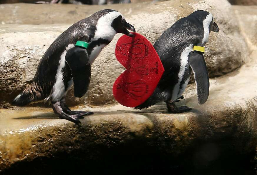 An African penguin holds a Valentine's Day card at the California Academy of Sciences on February 13