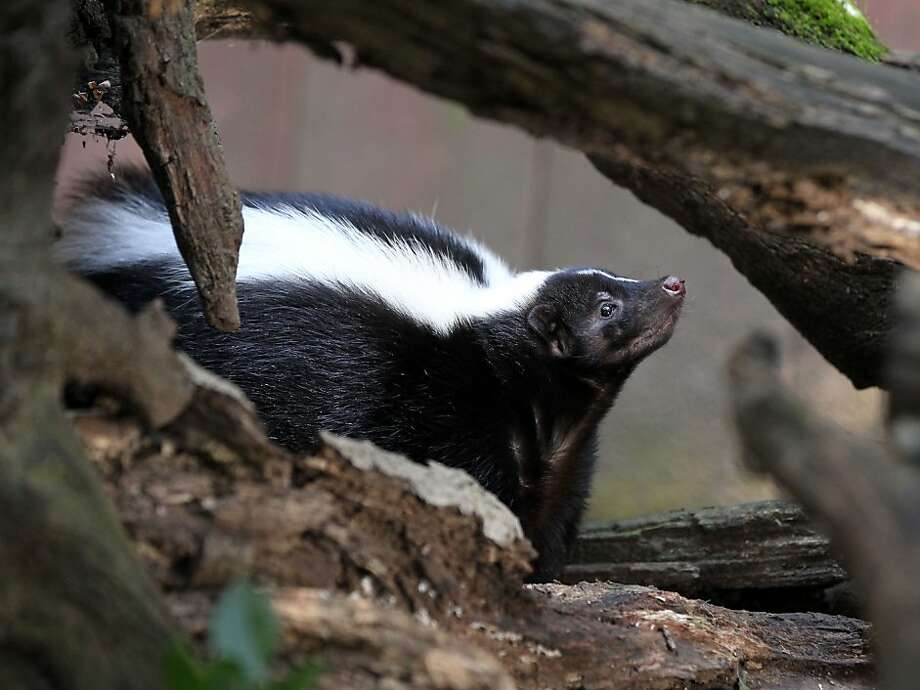 Shadow, a resident of Sulphur Creek Nature Center in Hayward, appears composed even in mating season. Photo: Lance Iversen, The Chronicle