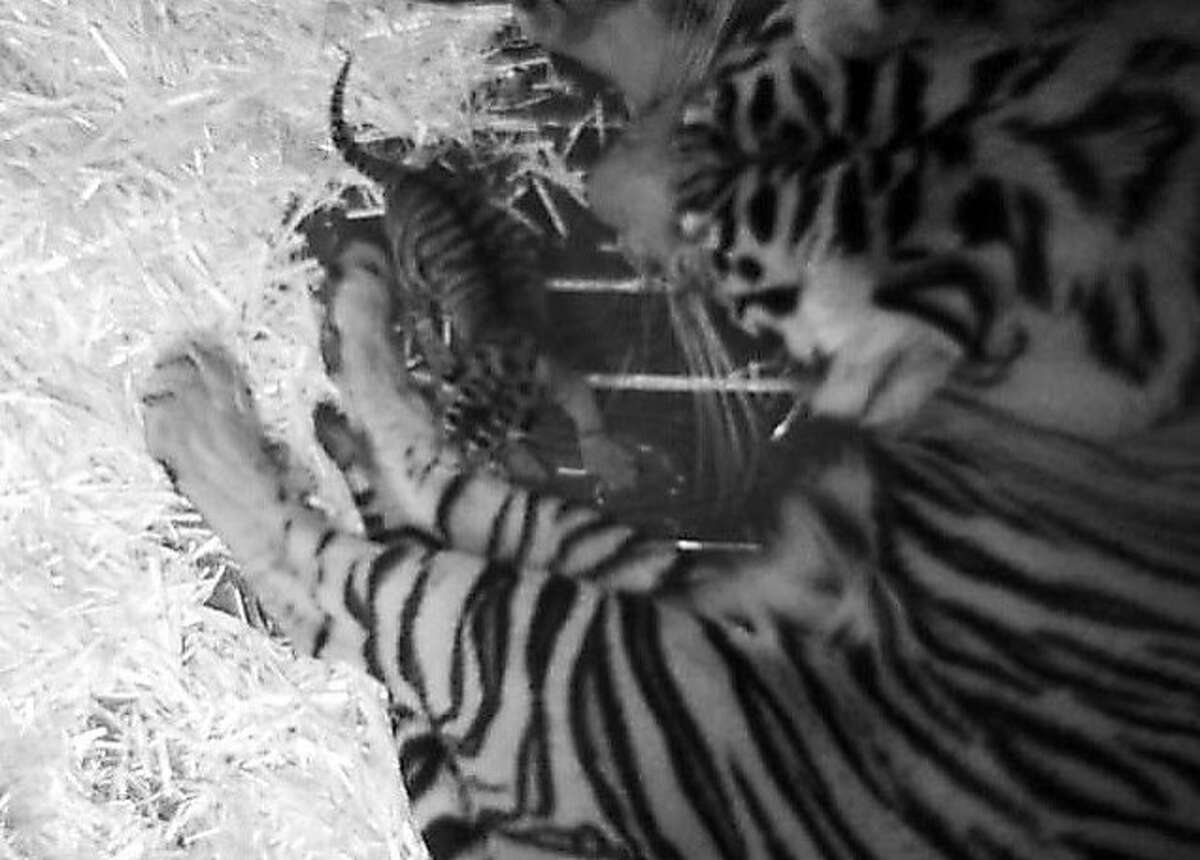 """Leanne, a nine and a half year-old year tiger rests hours after the birth of her as-yet unnamed cub on Sunday, February 10th, 2013 in San Francisco, Calif. This photo was taken by a surveillance camera in the """"nest box,"""" which is an area created within the tiger's enclosure for giving birth."""