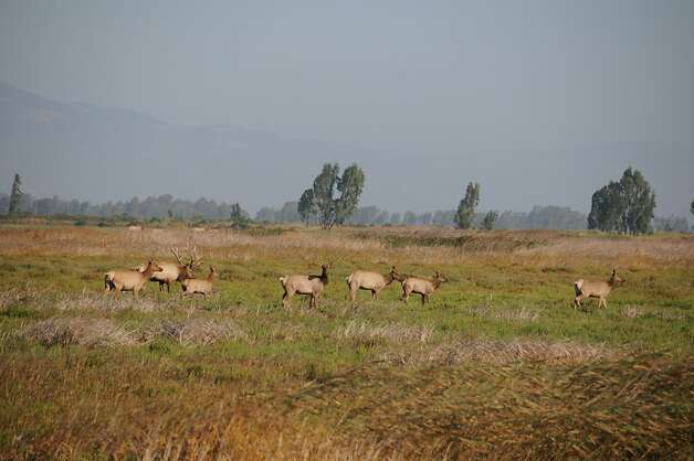 Bull elk with harem at Grizzly Island Wildlife Area, re-opened to public after six-month closurePhoto courtesy California Department of Fish and Wildlife Photo: Courtesy California Department O