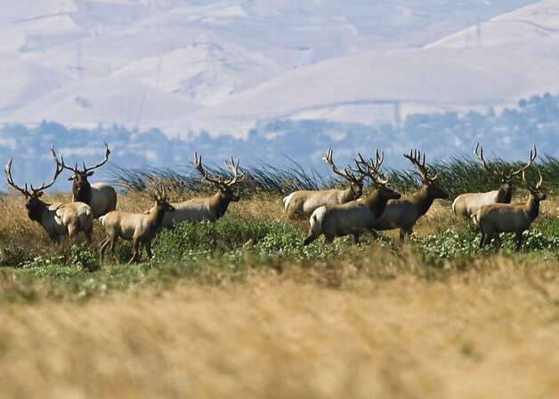 Tule elk roam the fields at Grizzly Island Wildlife Area south of Suisun City in Solano County. But finding the elk takes a little bit of work, and patience. Photo: Courtesy California Department O