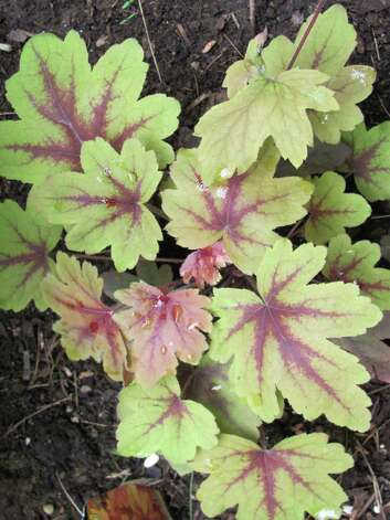The heucherella known as Sweet Tea is a charming treat for the shade garden. Photo: Contributed Photo