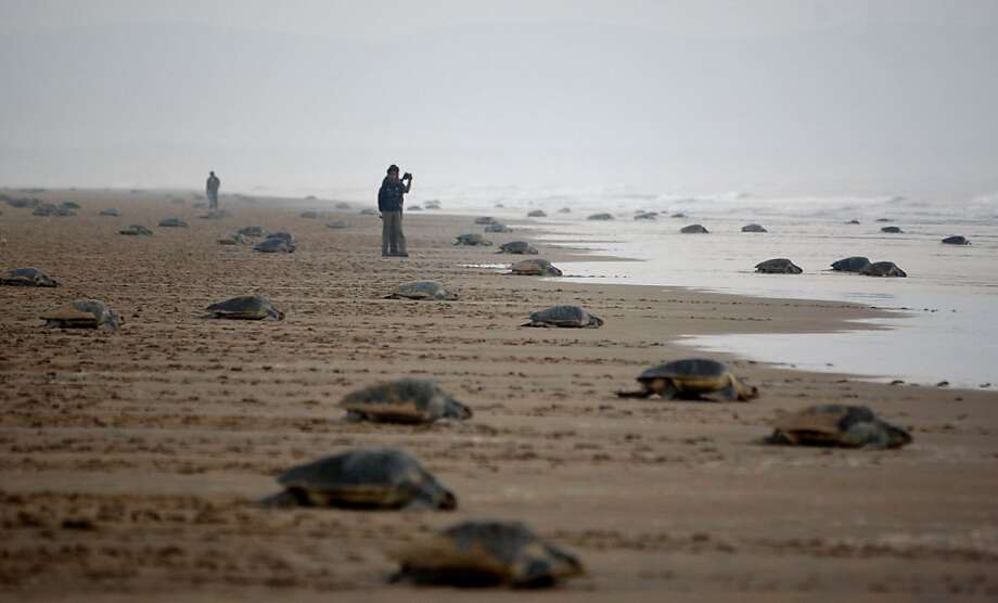 'From Here to Maternity' beach scene: Olive Ridley turtles return to the Bay of Bengal after laying eggs at the mouth of the Rushikulya River in India's Ganjam district. Photo: Biswaranjan Rout, Associated Press