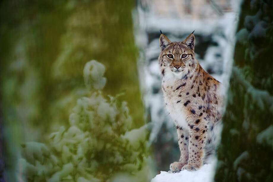 Tuft to see: A shy lynx peers between trees at Mulhouse Zoo in Germany. Photo: Sebastien Bozon, AFP/Getty Images