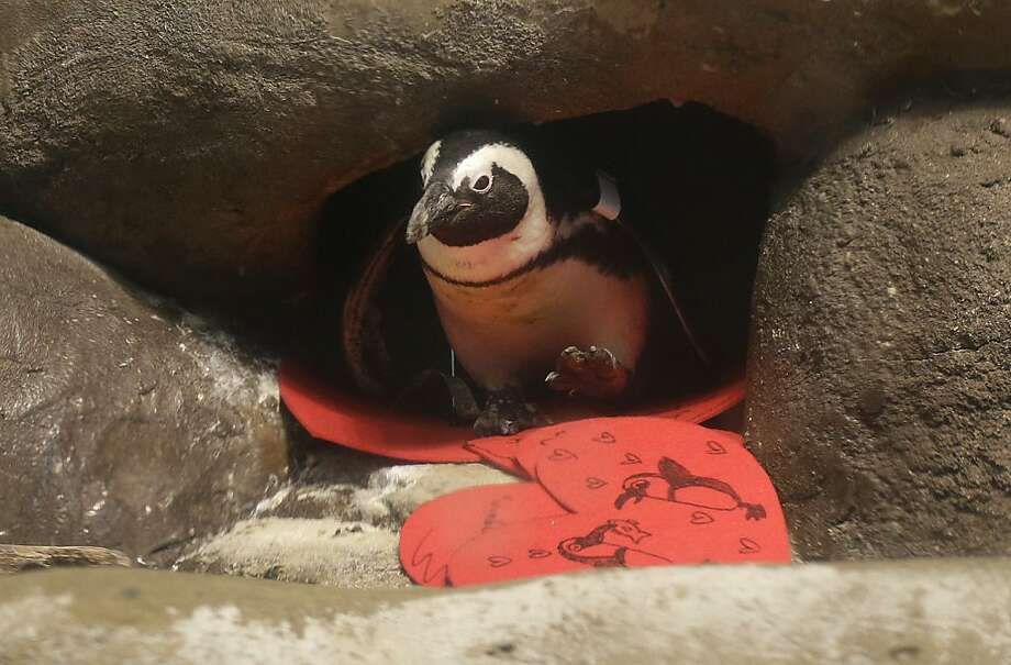 An African penguin walks out of its nest box after receiving valentines at The California Academy of Sciences African penguin exhibit in San Francisco, Wednesday, Feb. 13, 2013. The valentines will be used as nesting material. Photo: Jeff Chiu, Associated Press