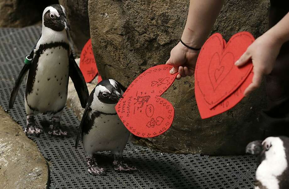 African penguins receive valentines from biologist Crystal Crimbchin at The California Academy of Sciences African penguin exhibit in San Francisco, Wednesday, Feb. 13, 2013. The valentines will be used as nesting material. Photo: Jeff Chiu, Associated Press