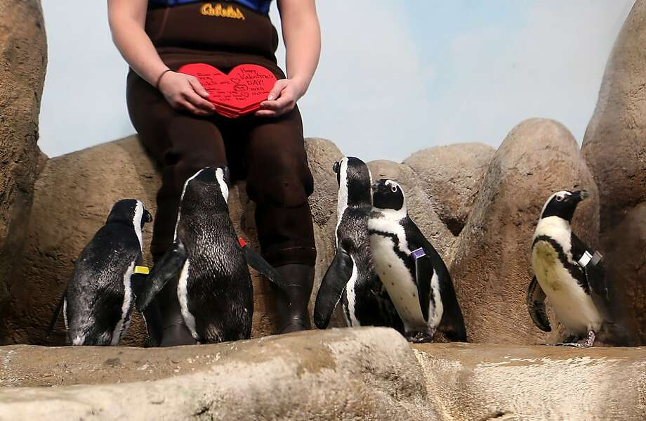 African penguins wait to receive Valentine's Day cards at the California Academy of Sciences on February 13, 2013 in San Francisco. The annual tradition promotes bonding between couples, the Academy said. Photo: Justin Sullivan, Getty Images