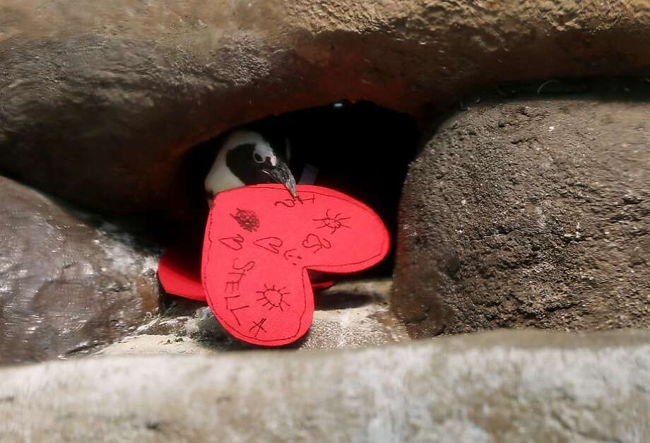 An African penguin pulls a Valentine's Day card into its nest box at the California Academy of Sciences on February 13, 2013 in San Francisco.  In honor of Valentine's Day, the colony of African Penguins at the California Academy of Sciences received heart-shaped red valentines with hand written messages from Academy visitors. Photo: Justin Sullivan, Getty Images