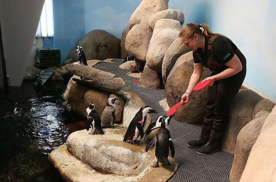Biologist Crystal Crimbchin hands out Valentine's Day cards to African Penguins at the California Academy of Sciences on February 13, 2013 in San Francisco. Photo: Justin Sullivan, Getty Images