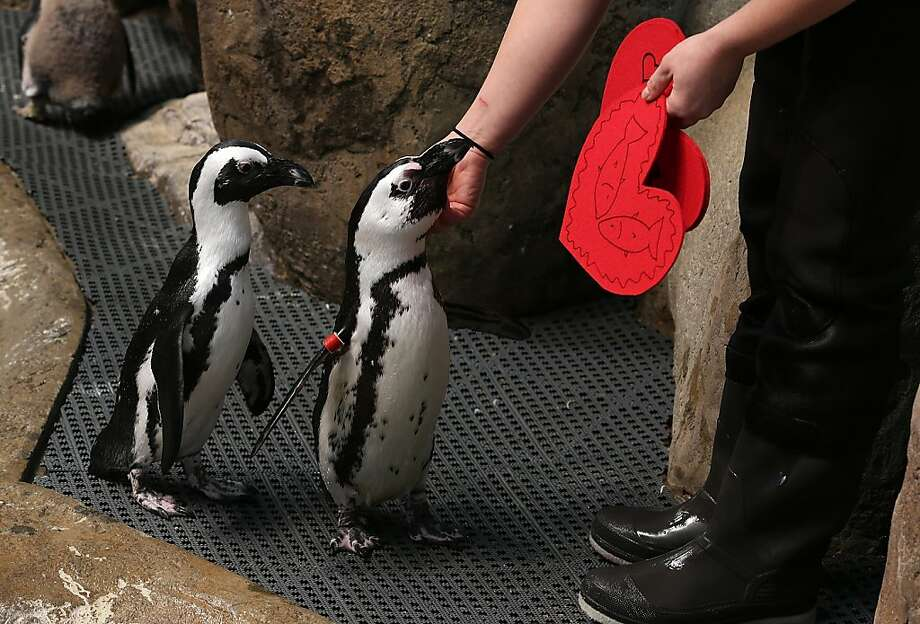 Biologist Crystal Crimbchin hands out Valentine's Day cards to African Penguins at the California Academy of Sciences on February 13, 2013 in San Francisco, California. Photo: Justin Sullivan, Getty Images