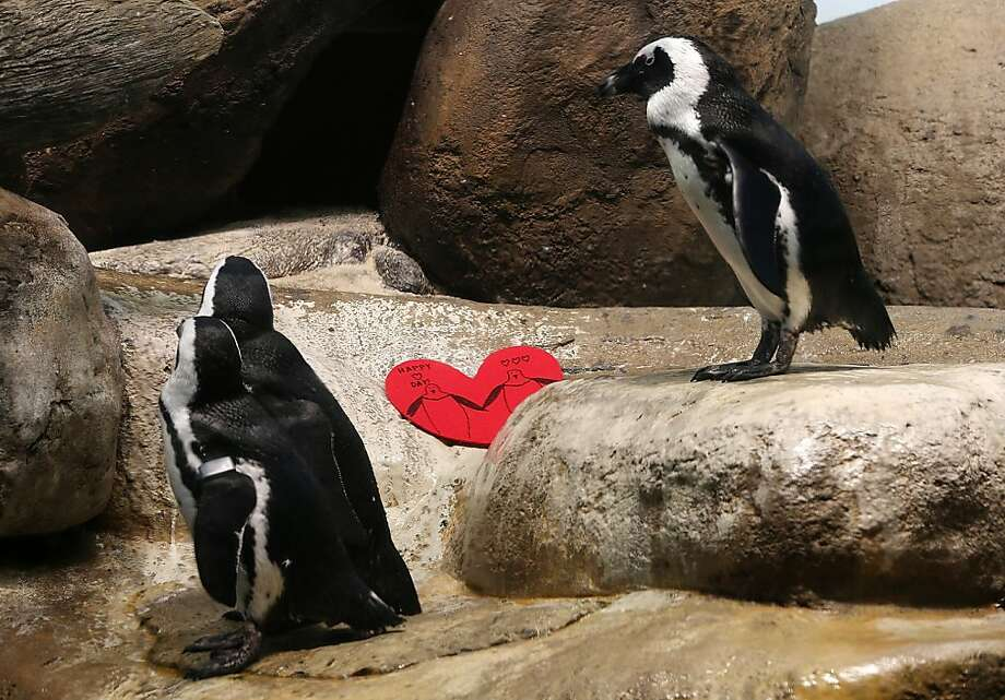 African penguins walk by a Valentine's Day card at the California Academy of Sciences on February 13, 2013 in San Francisco. Photo: Justin Sullivan, Getty Images