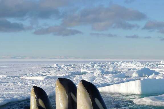 """In this image released by Discovery Channel, Orca whales are shown in a scene from Discovery Channel's documentary series """"Frozen Planet,"""" premiering March 18, 2012. The series will encompass seven episodes including a program on climate change hosted by David Attenborough. (AP Photo/Discovery Channel, Chadden Hunter)"""