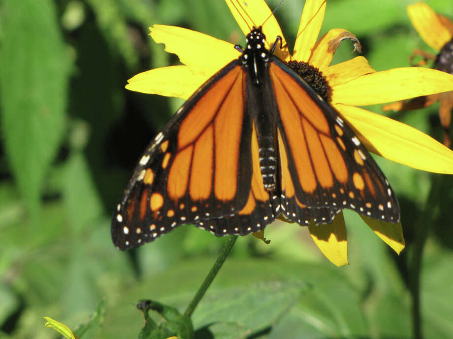 Monarch butterfly (courtesy miSci)