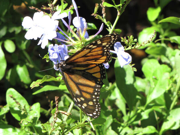 A Monarch butterfly  (courtesy miSci)