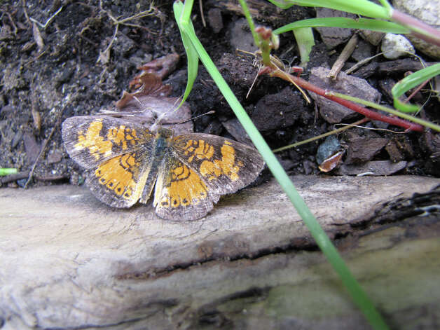 Painted Lady butterfly (courtesy miSci)