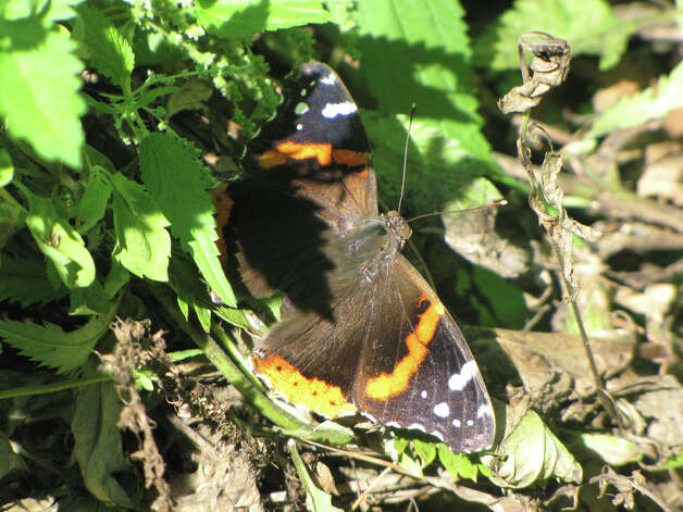 Red Admiral butterfly (courtesy miSci)