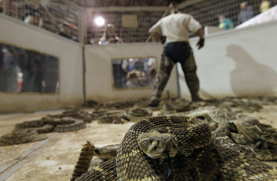 A Western Diamondback Rattlesnake is tended to by a  Jaycee during the annual Rattlesnake Roundup in Sweetwater. A reader is no fan. Photo: Michael Miller, San Antonio Express-News