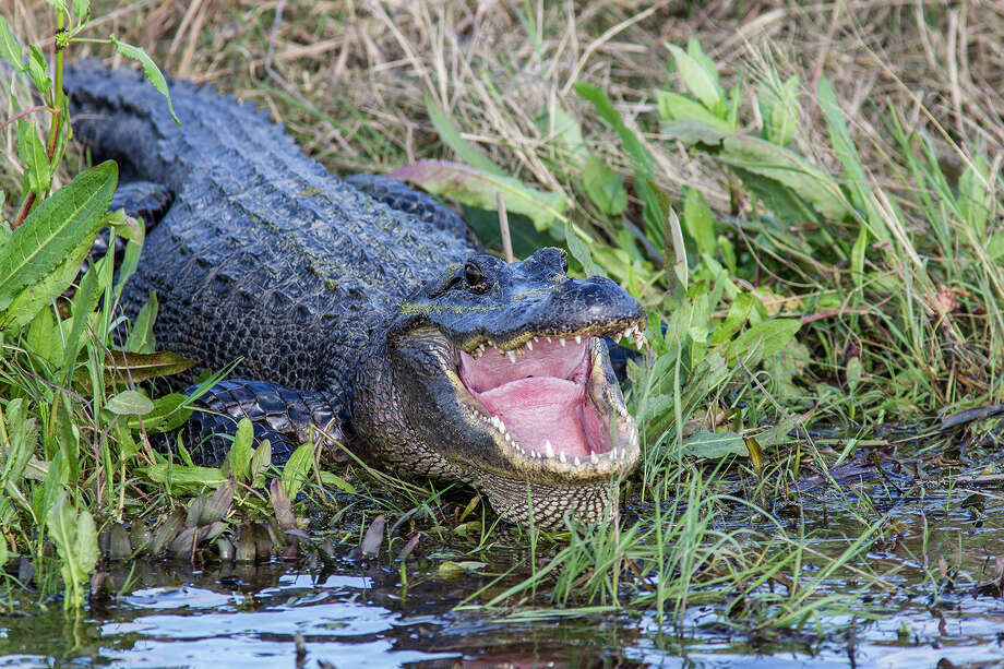American alligators are fast, agile, and usually afraid of humans.  They are the largest reptile in America and serve a critical role to keep our ecosystem in balance.  Photo Credit:  Kathy Adams Clark.  Restricted use. Photo: Kathy Adams Clark / Kathy Adams Clark/KAC Productions