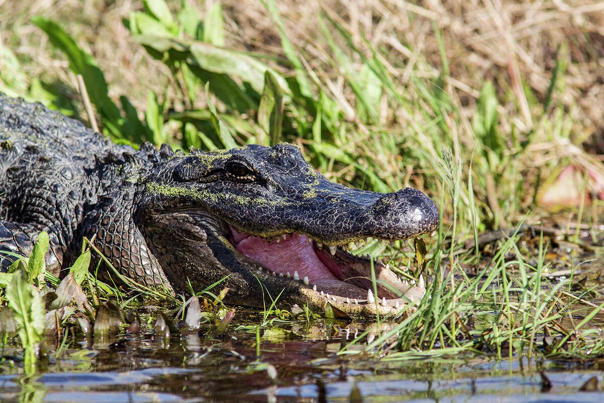 American alligators are fast, agile and usually afraid of humans. They are the largest reptile in America and serve a critical role in keeping our ecosystem in balance.