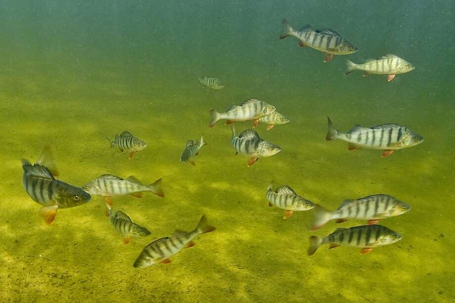 Perch like these in Sweden moved more, fed more aggressively, hid less and tended to school less than unexposed fish during the drug experiment. Photo: Bent Christensen, Associated Press
