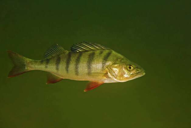 This circa 2009 photo provided by Bent Christensen shows a perch fish in Sweden. Swedish researchers who did the study on traces of anti-anxiety drugs in water, suspect the little drugged fish could become easier targets for bigger fish because they are more likely to venture alone into unfamiliar places. (AP Photo/Bent Christensen) Photo: Bent Christensen