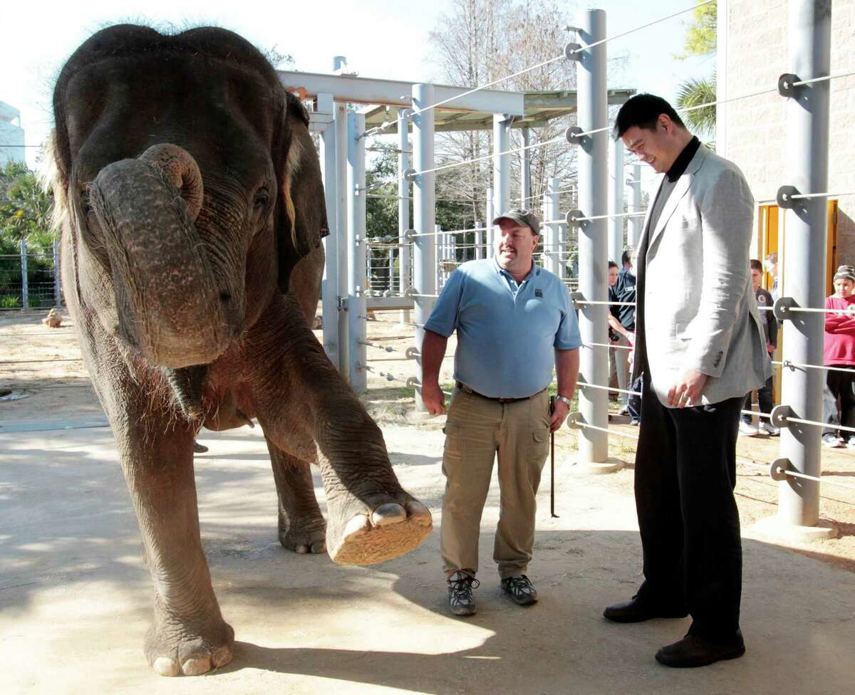 Former Houston Rockets center Yao Ming observes as Curator of Large Mammals Daryl Hoffman shows how nimble Asian elephant Tess is at the Houston Zoo, Thursday February 14, 2014. Yao Ming, is in Houston with conservation organization, WildAid , visiting the Houston Zoo with local school children from Bobby Shaw Middle school to educate them about the importance of wildlife conservation.
