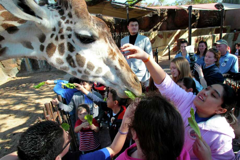 Former Houston Rockets center Yao Ming watches and children feed the Massi giraffes at the Houston Zoo, Thursday, Feb. 14, 2013. Photo: Billy Smith II / Houston Chronicle