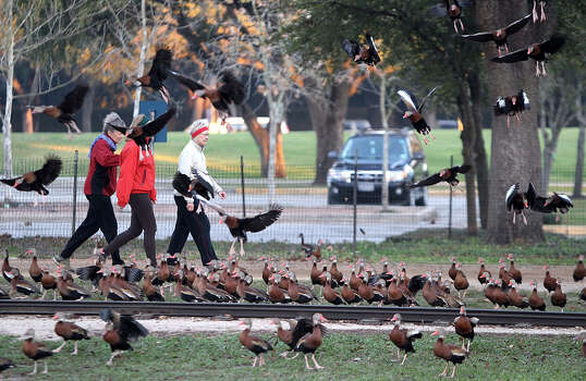 Three women walk through a flock of whistling ducks on a brisk 45-degree morning Friday, Feb. 15, 2013, at Hermann Park. Photo: Nick De La Torre, .