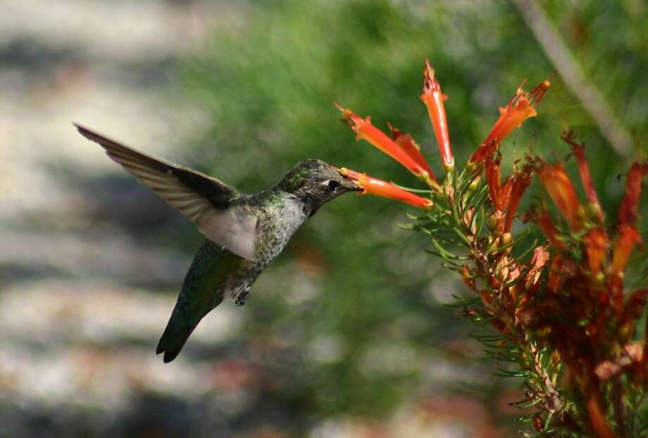 Visitors can mingle with hummers that feed, mate and nest in the gardens all weekend during Hummingbird Days. Photo: Santa Cruz County CVC/UCSC Arbor
