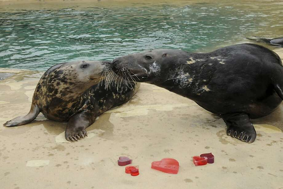 Valentine's Day blubbers: Tasha and Boone seal their love with a kiss after receiving heart-shaped gelatin and ice treats at Chicago's Brookfield Zoo. Photo: Jim Schulz, Associated Press