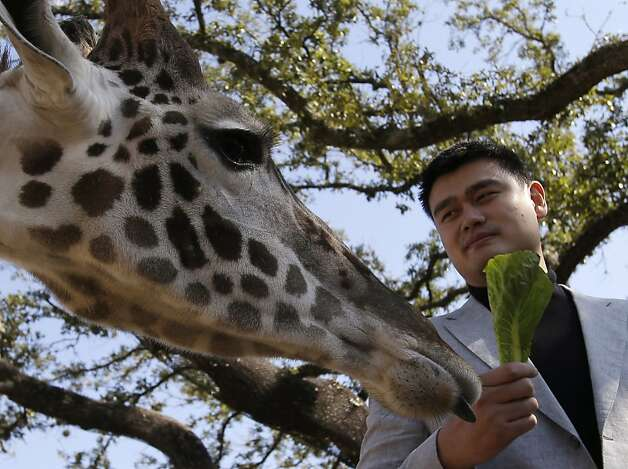 Or maybe it's the Romaine he's holding: Something about Yao Ming draws giraffes to the former NBA star at the Houston Zoo. Perhaps it's because, like him, they are tall and long-limbed, and gangly but gentle. Photo: Pat Sullivan, Associated Press