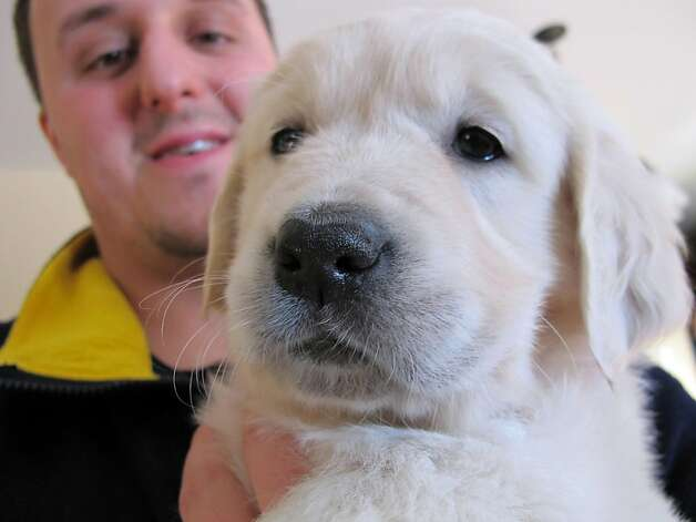 Sheen's warm and fuzzy gift: This is the golden retriever puppy that Jake Guell of Fond du Lac, Wis., will train to be a therapy dog for a teenager who was severely injured in a fall from a Wisconsin amusement park ride in 2010. Actor Charlie Sheen says he's donating $10,000 for the dog's training and other expenses. Photo: Carrie Antlfinger, Associated Press