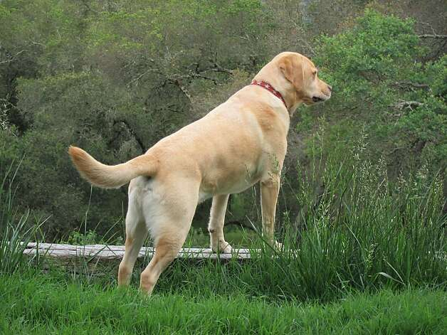 Kramer, a yellow Lab, was a 50th birthday present for Stuart Scheinholtz, who had never owned a dog. Photo: Stuart Scheinholtz