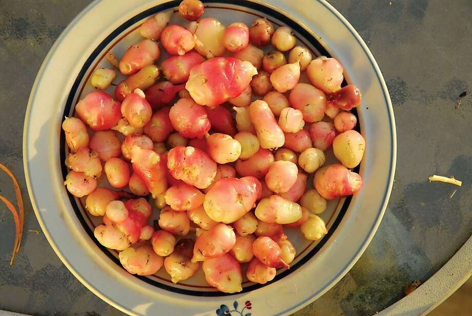 Oca is a thin-skinned root crop that's a dietary staple in Bolivia and Peru, with a texture often likened to a baby potato. Photo: Territorial Seed Co.