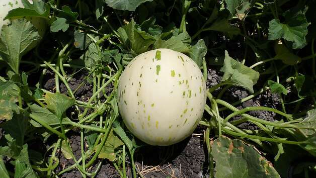 'BOS' hybrid melon Photo: Orsetti Seed Co.