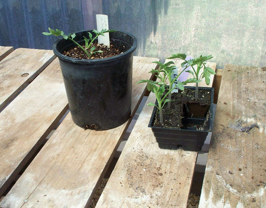Give tomatoes a head start by stepping up transplants from small containers to larger pots before setting them out April 1. Photo: Courtesy Tom Harris