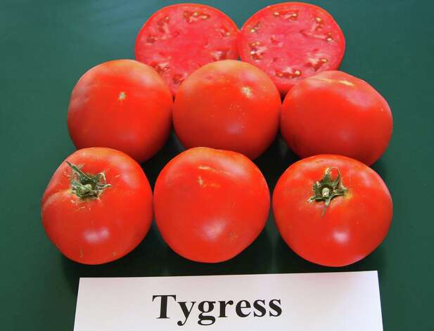 Transplants for Tygress (above) are available at the San Antonio Stock Show. Photo: Texas A&M AgriLife Extension