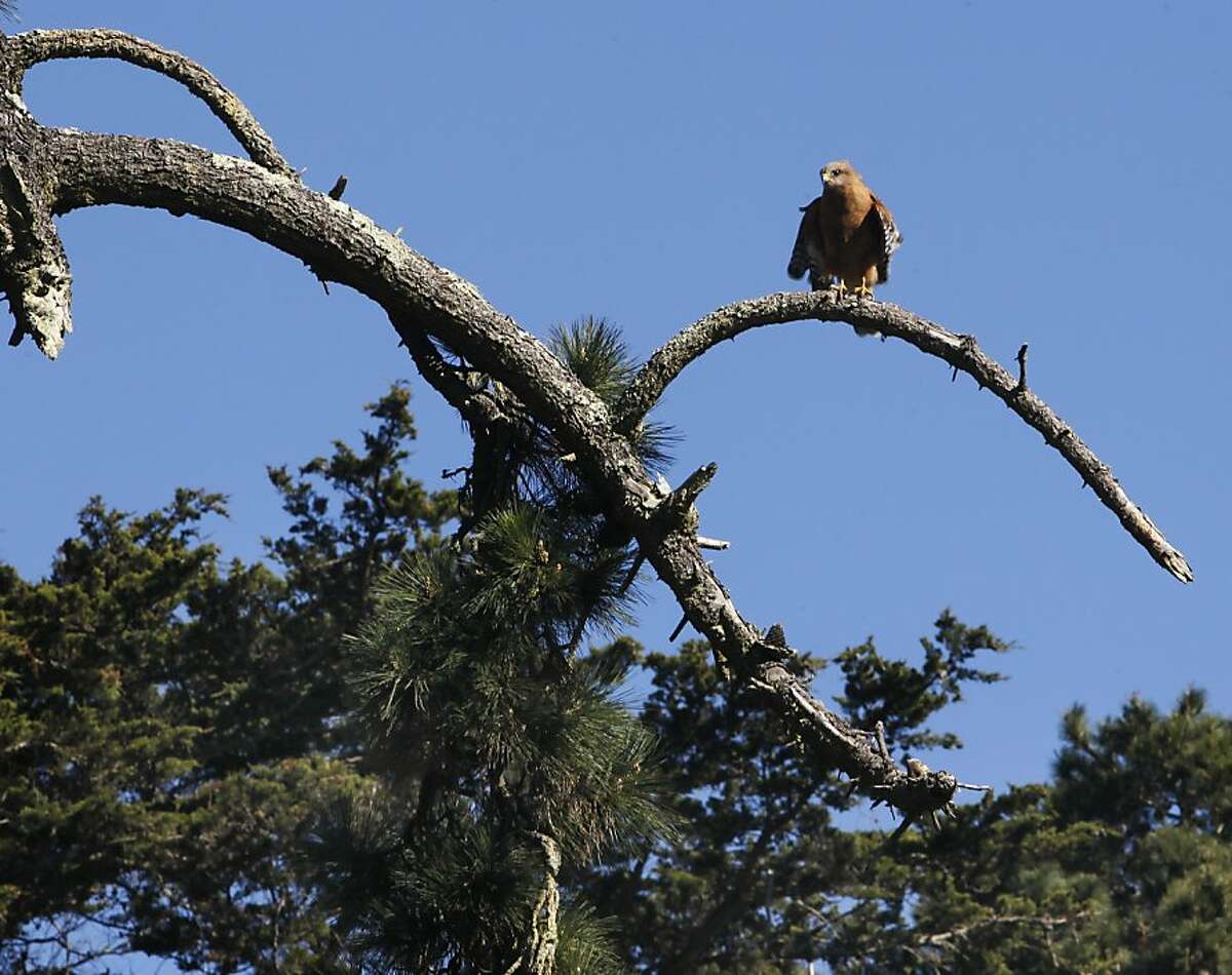 A large bird is perched on a tree branch at Golden Gate Park in San Francisco, Calif. on Thursday, Feb. 14, 2013. Beginning next month, several hundred aging and diseased trees will be cut down and replaced with younger ones.