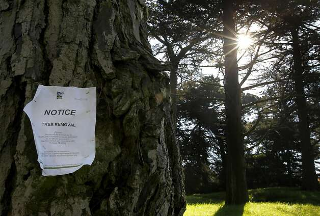 A sign is posted on a Monterey pine tree designated for removal at Golden Gate Park in San Francisco, Calif. on Thursday, Feb. 14, 2013. Photo: Paul Chinn, The Chronicle