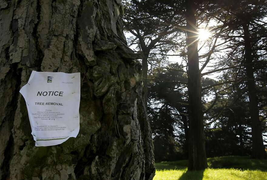 A sign is posted on a Monterey pine tree designated for removal at Golden Gate Park in San Francisco