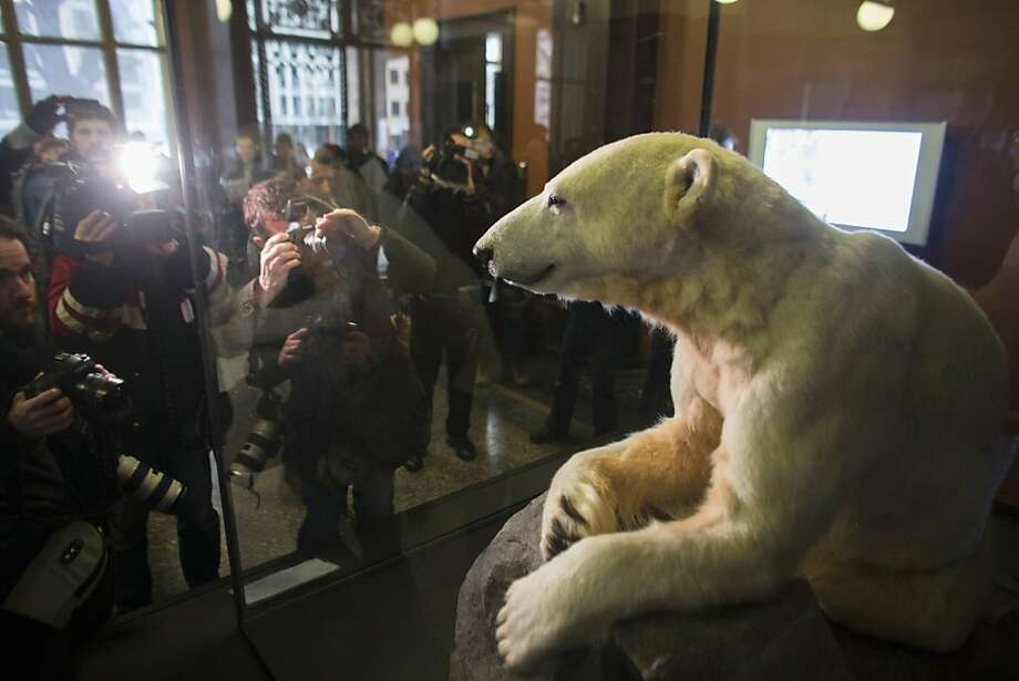 Late polar bear Knut is on display at the   Natural History Museum  in Berlin, Friday, Feb. 15, 2013. Adorable in life, still attracting admirers in death: Knut the polar bear's hide has been mounted on a polyurethane body and is going on display in a Berlin museum.  The Natural History Museum on Friday unveiled the statue prepared by taxidermists featuring the famous Berlin Zoo bear's fur and claws, with the synthetic body and glass eyes. Knut was hand-raised after his mother rejected him. He rose to stardom in 2007 as a cuddly cub, appearing on magazine covers, in a film and on mountains of merchandise. He died in 2011 after suffering from encephalitis. Photo: Markus Schreiber, Associated Press