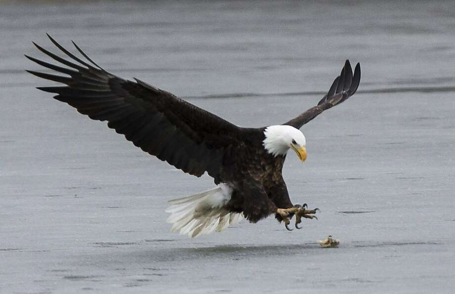 An eagle prepares to snatch up an unidentified object on the frozen surface of Lake Manawa, Iowa, Fr