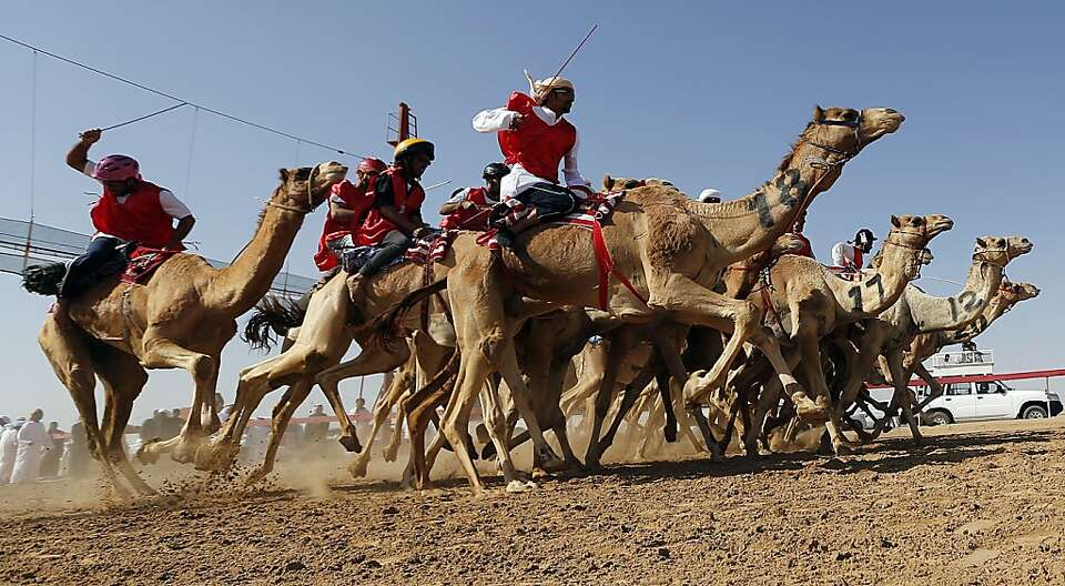 Jockeys compete in a traditional camel race during the Sheikh Sultan Bin Zayed al-Nahyan Camel Festi