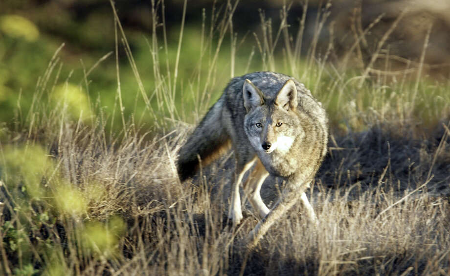 A coyote photographed on Bernal Hill in San Francisco. Photo: Scott Sommerdorf / Scott Sommerdorf / The Chronicle / SFC