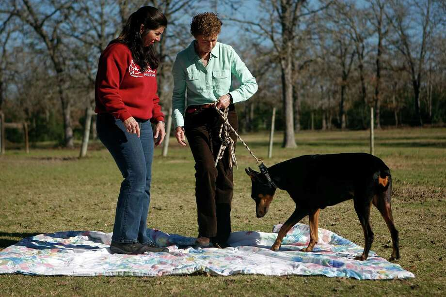 """Gretchen Jones walks brings her 12-year-old Doberman Pinscher named Ollie to be treated.  When Ollie started having problems walking, Jones took her to her veterinarian. """"The vet said; 'Have you ever thought about a chiropractor.' I looked at her like she was crazy."""" Ollie, who is a performance dog in agility, has been treated by Dr. Doval for about seven years. Photo: Johnny Hanson, Houston Chronicle / © 2013  Houston Chronicle"""