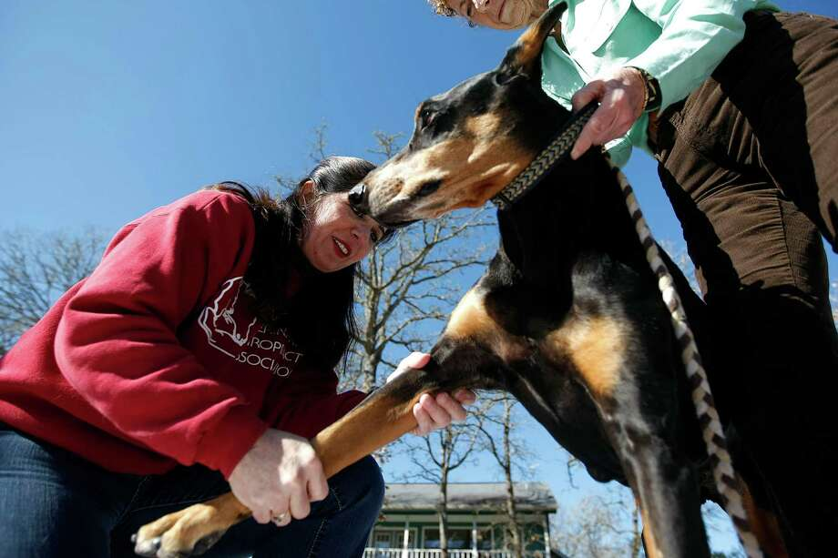 Dr. Jackie Doval works on a 12-year-old Doberman Pinscher named Ollie. Photo: Johnny Hanson, Houston Chronicle / © 2013  Houston Chronicle
