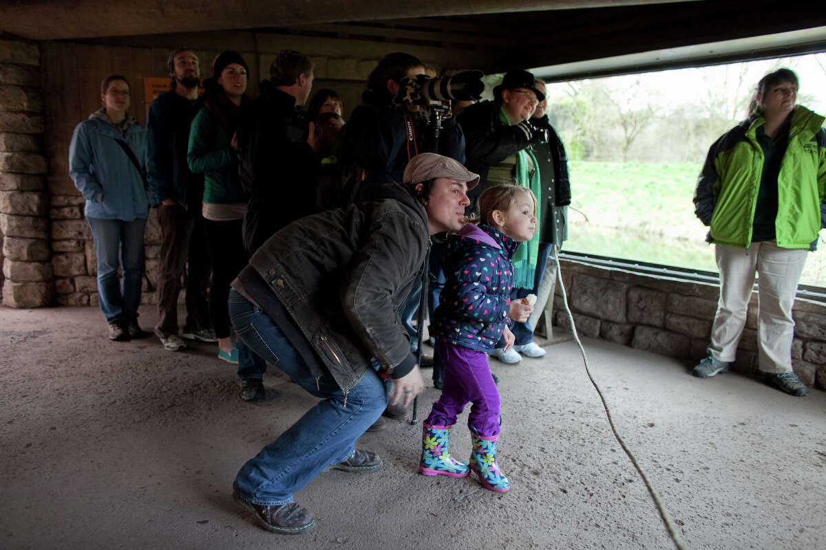Sevyn, 4, and Nathan Christensen of Edmonds get a view of Woodland Park Zoo's new lion cubs as they make their public debut on Saturday, February 16, 2013 at the zoo in Seattle. Born in November, the cubs have been acclimating to their exhibit. People have been able to catch glimpses of them in recent days, but this was the first day people could walk up to the window to view the cubs.